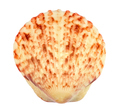 Calico Scallop Sea Shell - PhotoDune Item for Sale