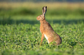 Brow hare sitting in a soy field - PhotoDune Item for Sale