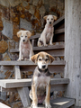 Three dogs on the stairs - PhotoDune Item for Sale