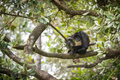 Yucatan Spider Monkey - PhotoDune Item for Sale