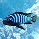 Pseudotropheus Demasoni fish - 3DOcean Item for Sale