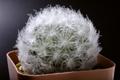 Closeup shot of soft light feather cactus - PhotoDune Item for Sale