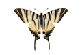 Scarce swallowtail butterfly, isolated on white background - PhotoDune Item for Sale
