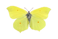 Common brimstone butterfly isolated on white - PhotoDune Item for Sale