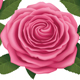 Pink Roses with Heart Shape - GraphicRiver Item for Sale