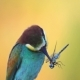 Colored Bird Holds a Blue Dragonfly in the Beak - VideoHive Item for Sale