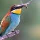 Bee-eater Caught Dragonfly and Holds It in Its Beak - VideoHive Item for Sale