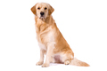 Purebred Golden Retriever isolated sitting looking at camera - PhotoDune Item for Sale