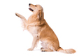Purebred Golden Retriever giving paw - PhotoDune Item for Sale