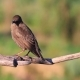 Young Starlings Jumps on Dry Branch - VideoHive Item for Sale