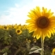 Beautiful Sunflower Helianthus Field of Yellow Flowers on a Background of Blue Sky Landscape - VideoHive Item for Sale