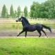Black Beautiful Horse Galloping on the Green Grass in the Paddock - VideoHive Item for Sale