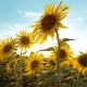 Lifestyle Beautiful Sunflower Helianthus Field of Yellow Flowers on a Background of Blue Sky - VideoHive Item for Sale