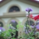 Violet Flowers on the Background of the House - VideoHive Item for Sale