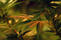 Close up of cannabis leaf, lit by warm early morning light - PhotoDune Item for Sale