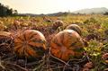 Pumpkin field with big orange ripe pumpkins - PhotoDune Item for Sale