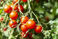 Red Tasty Cherry Tomatoes - PhotoDune Item for Sale