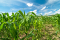 Corn field on a bright sunny day - PhotoDune Item for Sale