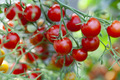 Tomatoes on Green Plant - PhotoDune Item for Sale