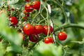 Nice Tasty Tomatoes - PhotoDune Item for Sale