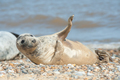 joyful seal on a beach - PhotoDune Item for Sale