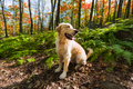 Golden Retriever sitting in red fall forest - PhotoDune Item for Sale