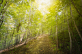Birch pathway with penetrating sunlight on fall morning - PhotoDune Item for Sale