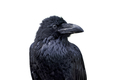 Portrait of common raven (Corvus corax) on a white background - PhotoDune Item for Sale