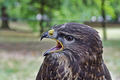 Portrait of common buzzard (Buteo buteo) - PhotoDune Item for Sale