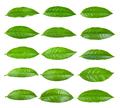 tea leaf on white background - PhotoDune Item for Sale