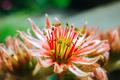Sempervivum plant during flowering - PhotoDune Item for Sale