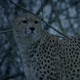 Cheetahs In The Evening - VideoHive Item for Sale