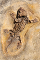 Seymouria baylorensis - cast of fossil Early Permian period - PhotoDune Item for Sale