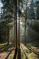 Early morning in coniferous forest - PhotoDune Item for Sale