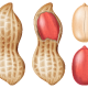 Peanut - GraphicRiver Item for Sale