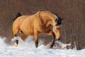Dapple chestnut mustang trotting across winter snowy meadow. - PhotoDune Item for Sale