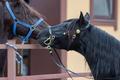 Portrait of two spanish horses. - PhotoDune Item for Sale