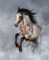 Appaloosa horse rearing in light smoke. - PhotoDune Item for Sale