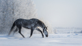 Spanish gray horse walks on freedom at winter time. - PhotoDune Item for Sale