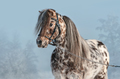 Portrait of Appaloosa miniature horse in winter landscape. - PhotoDune Item for Sale