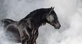Black Pura Spanish stallion in light smoke. - PhotoDune Item for Sale