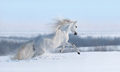 White horse with long mane galloping across winter meadow. - PhotoDune Item for Sale