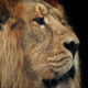Lion Face Closeup With Dark Background - VideoHive Item for Sale