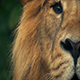 King Of The Jungle Lion Looks Up - VideoHive Item for Sale