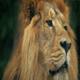 Lion Face Portrait - VideoHive Item for Sale