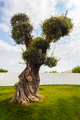 Olive tree - PhotoDune Item for Sale