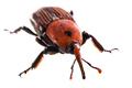 Big red weevil - PhotoDune Item for Sale