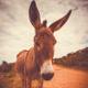 Horse or Donkey Sneeze