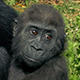 Baby Gorilla Clings To Mother - VideoHive Item for Sale