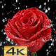 Rose in the Rain - VideoHive Item for Sale